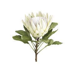 King Protea, Photo On Wood, Flower Wall, Wall Flowers, Botanical Illustration, Botanical Prints, Printable Art, Printables, All Art