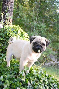 Cute pug <3 @yummypets #cutepug