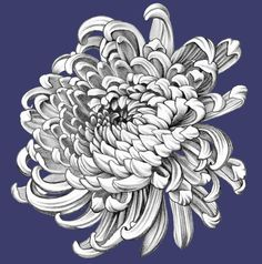 Illustration about Chrysanthemum. Illustration of beauty, florals, botany - 60805267 Pencil Drawings Of Flowers, Realistic Pencil Drawings, Art Drawings, Flower Tattoo Designs, Flower Tattoos, Chrysanthemum Drawing, Chrysanthemum Flower, Bum Tattoo, Dahlia