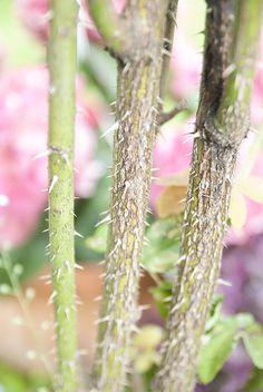 Varpun ruusupuu - Viherlandia Plants, Plant, Planets