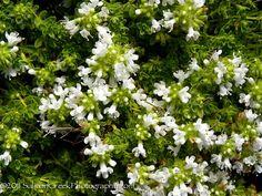 Thymus praecox ssp. arcticus Albus