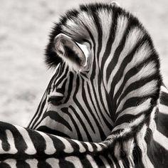 58 Best Zebra Stripes Images Zebras Animals Beautiful