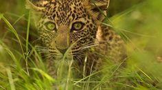 Curious eyes #leopard #cub #wildafrica #masaimara #kenya #nature #travel #adventure #wildlifeplanet #wildlives #wildlifeowners #wildlifeonearth #planetearth #canon #love #beautiful #photography #pawstrails @natgeotravel @natgeowild @bbc_travel @bbcearth  www.pawstrails.com | www.nishas.info