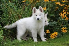 zwitserse witte herder langhaar pup