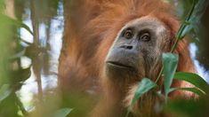 Newly discovered Tapanuli orangutan