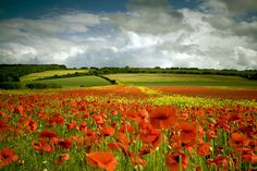 A field of poppies in Yorkshire, UK