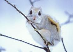 Japanese Dwarf Flying Squirrel...oh my goodness....its cuteness is melting me!!!