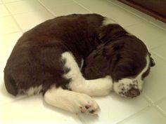 Springer Spaniel Dooley. Is he not sweet? I can remember when I had a Dooley that looked almost the same but her name was Magi!