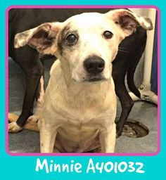 TX!!!10.18.16 TUES KILL DAY 9amEXTREMELY URGENT  ID#A401032 MINNIE is a 3 yr old great girl who needs a hero instead of being on death row. White Lab Retriever blend.These pets were all part of a large cruelty case in San Antonio in September. These dogs