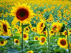 sunflower✖️More Pins Like This One At FOSTERGINGER @ Pinterest ✖️Fosterginger.Pinterest.Com.✖️No Pin Limits✖️