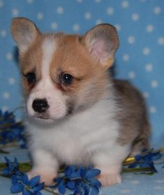 Corgi puppy love.