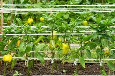 Peppers along wire