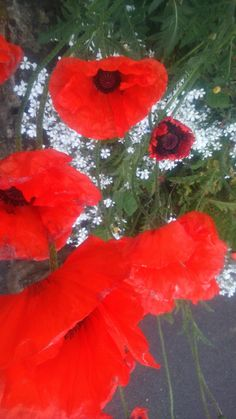 Looking down on poppies. Photo credit: Paola De Giovanni