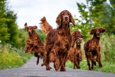 Irish Setters running free