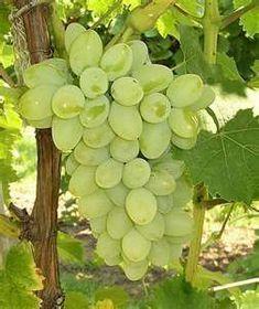 How to Grow Grapes - Backyard Grape Growing Secrets Revealed. A ... #GrapeGrowingBeautiful #backyardgrapegrowing #growbackyardgrapes