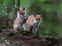 small foxes by doxke | Photo To Art Guy
