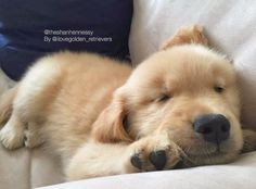 いいね!4,894件、コメント23件 ― I Love Golden Retrieversさん(@ilovegolden_retrievers)のInstagramアカウント: 「Sweet little sleepy fluff  @theshanhennessy」