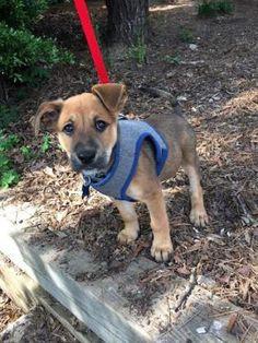 5 / 24    ***PUPPY ALERT*** Petango.com – Meet Cricket, a 2 months 16 days German Shepherd / Rottweiler available for adoption in WINSTON SALEM, NC Address  61 Miller Street, WINSTON SALEM, NC, 27104  Phone  (336) 721-1303  Website  http://www.forsythhumane.org  Email  info@forsythhumane.org