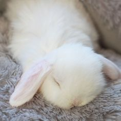 Fluffy white bunny sleeping -- could this be any cuter??!