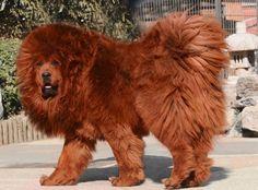 4. Tibetan Mastiff.... oh my! Definitely looks like a lion via allwomenstalk.com