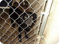 Warsaw, IN - Spaniel (Unknown Type). Meet Bella, a dog for adoption. http://www.adoptapet.com/pet/16685453-warsaw-indiana-spaniel-unknown-type