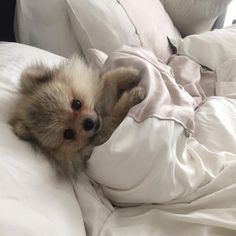 This cute pomeranian puppy will make you happy. Dogs are incredible friends. Cute Baby Animals, Animals And Pets, Funny Animals, Cute Puppies, Cute Dogs, Dogs And Puppies, Doggies, Shitzu Puppies, Bulldog Puppies