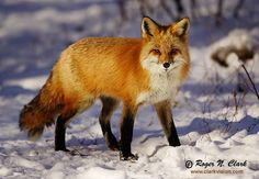 fox | fox numbers in cities as due to the foxes scavenging nature food is ...