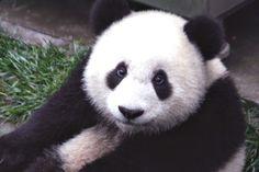 쓰촨 성 워룽 자연 보호구의 생후 7개월 난 대왕판다