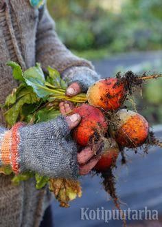 Keltajuurikas on makea ja mieto maultaan, eikä se värjää muita ruoka-aineita kuten perinteinen punajuuri. Juurikkaat nostetaan talteen ennen yöpakkasia. Carrots, Vegetables, Food, Essen, Carrot, Vegetable Recipes, Meals, Yemek, Veggies