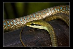 Dendrelaphis girii, or Giri's bronzeback tree snake, is a new species of snake in India.