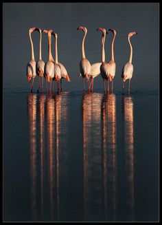 Nuptial parade – Phoenicopterus ruber (American Flamingo) - The American Flamingo is a large species of flamingo closely related to the Greater Flamingo and Chilean Flamingo.