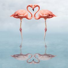 Photo about Flamingos in water making a heart shape. Image of husband, soulmate, romance - 1143188 Foto Flamingo, Flamingo Art, Pink Flamingos, Pink Flamingo Wallpaper, Flamingo Logo, Flamingo Tattoo, Flamingo Painting, Love Birds, Beautiful Birds