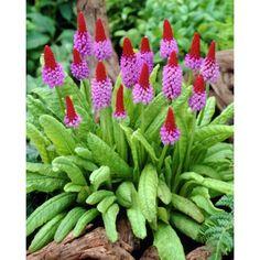Orkidéprimula