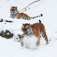 Five-year-old Siberian tigers Wassja and Mandschu play with a giant snow  ball at Wuppertal Zoo in Germany