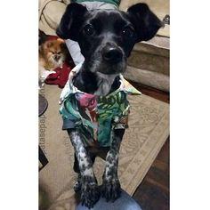 #princesa : Me dá um pedaço? ! /////////////// Give me a piece ? ! __________________________________________ #amo #animals #adorable #adotarebom #cachorro #cute #beautiful #love #linda #life #likeit #perro #pretty #pet #petstagram #petlove #dog #dreamdog #dogslife #dogstagram #doglover #it  #clothes