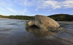olive ridley sea turtle - Google 検索