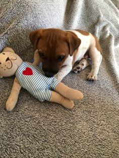 Jack Russells, Dog Products, Jack Russell Terrier, Terriers, Woody, Chihuahua, Cute Animals, Puppies, Dogs