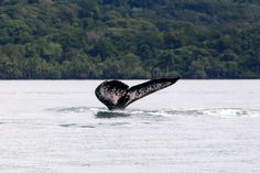 The awesome tail of a humpback whale. A boat ride along Golfo Dulce will often turn into a most memorable experience. Be part of the dream at Golfo Dulce Retreat www.gdretreat.com