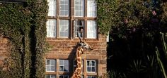 I think that giraffes are the most beautiful animals ever. I would love to visit Giraffe Manor. It is a luxury boutique hotel located in Kenya, just about 12 miles outside of Nairobi, and Giraffe Manor is 12 acres of private land and 140 acres of indigenous forest that is home to a herd of Rothschild Giraffe.    It was set up by AFEW (African Fund for Endangered Wildlife) as a breeding centre for the endangered Rothschild Giraffe.