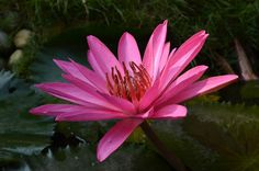 Розовый лотос.  Вокруг Аннапурны, Hikeup