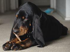 Focused   Flickr - Photo Sharing! jeff Schwartz. (Black and Tan Coonhound--my next dog)