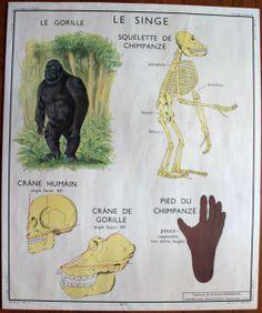 Ancienne affiche d'école, affiche scolaire vintage, ROSSIGNOL, le singe, le chat... http://www.lanouvelleraffinerie.com/anciennes-affiches-scolaires/576-ancienne-affiche-d-ecole-affiche-scolaire-vintage-rossignol-le-singe-le-chat.html