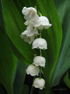 Lily of the Valley • Was my favorite part of my Grammas house growing up!