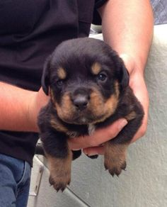 3 Week Old Rottweiler Puppies *** Click image for more details about playing with pet dogs. Rottweiler Love, Rottweiler Puppies, Cute Puppies, Cute Dogs, Dogs And Puppies, Doggies, Toy Dogs, Dogs 101, Chihuahua Dogs
