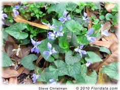 The flowers and young leaves of most violets are edible. These have a nutty flavor that goes well as a garnish on fresh garden salads. The caterpillars of several butterfly species feed on the violet foliage, but the flowers themselves are not particularly attractive to insects.