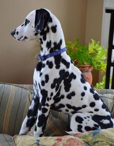 Storyboard, Girls Best Friend, Best Friends, American Staffordshire Terrier, Dalmatian Dogs, Cute Baby Animals, Puppy Love, Dog Breeds, Cute Dogs