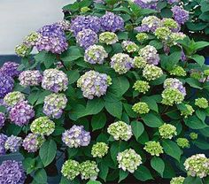 """Hydrangea, Endless Summer Bloomstruck (Hydrangea macrophylla 'PIIHM-II' PPAF) the newest addition to the Endless Summer® Collection of reblooming hydrangeas! BloomStruck will boast big, beautiful blooms all summer long, measuring 3.5 - 5"""" across.  Incredibly beautiful red-purple stems, dark green leaves with red petioles and red veins, which give great contrast to your garden landscape. 3-4' 4-5'"""