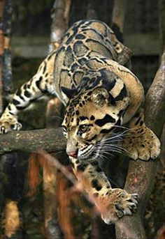 The endangered Clouded Leopard (Neofelis nebulosa). Its total population size is suspected to be fewer than Beautiful Cats, Animals Beautiful, Big Cats, Cats And Kittens, Siamese Cats, Animals And Pets, Cute Animals, Wild Animals, Baby Animals