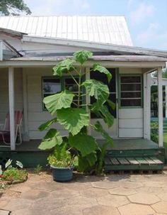 "Q: This plant popped up (and how!) and is still growing. A: In a ""Biggest Leaf"" contest, the prize almost always goes to Princess Big Leaves, Tree Leaves, Georgia Gardening, Leaf Identification, Farm Gardens, Trees To Plant, Weed, Flora, Princess"