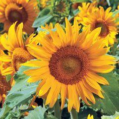 Sunflower Irish Eyes - Annual Flower Seeds